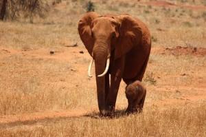 elephant-274003_640