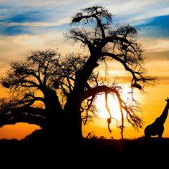 Spectacular african sunset baobab and giraffe